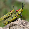 Green Milkweed Locust (Phymateus viridipes) pair, male sitting on back of female, Kamberg Nature Reserve, Drakensberge, Drakensberg Mountains, Südafrika, South Africa
