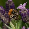 Ackerhummel - common carder bee