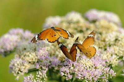 African Monarch, Danaus chrysippus aegyptius, Ithala Game Reserve, KwaZulu Natal, Südafrika, South-Africa, Ithala Game Reserve, Südafrika, South Africa