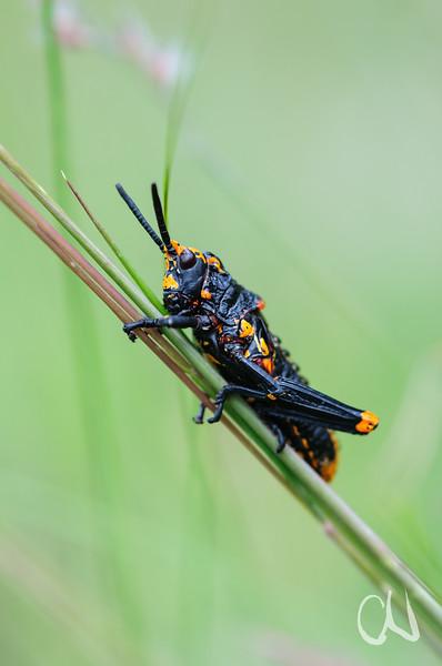 leuchtend schwarz-orange gefärbte Nymphe einer Heuschrecke, Kamberg Nature Reserve, Drakensberge, Südafrika, [en] nymph of a grasshopper, Drakensberg Mountains, South Africa