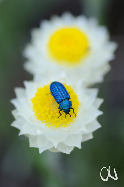 beetle on flower of Helichrysum sp., Käfer auf Blüte, Highmoor Nature Reserve, Drakensberge, Südafrika, Drakensberg Mountains, South Africa