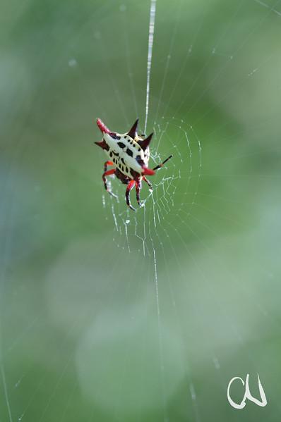 orb web spider, Radnetzspinne, Ithala Game Reserve, KwaZulu Natal, Südafrika, South-Africa, Ithala Game Reserve, Südafrika, South Africa