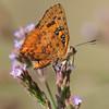 Schmetterling auf Blüte, wahrscheinlich Common Scarlet, butterfly, Axiocerses tjoane tjoane, Weibchen, Roodeplat Dam bei Pretoria, Südafrika, South Africa