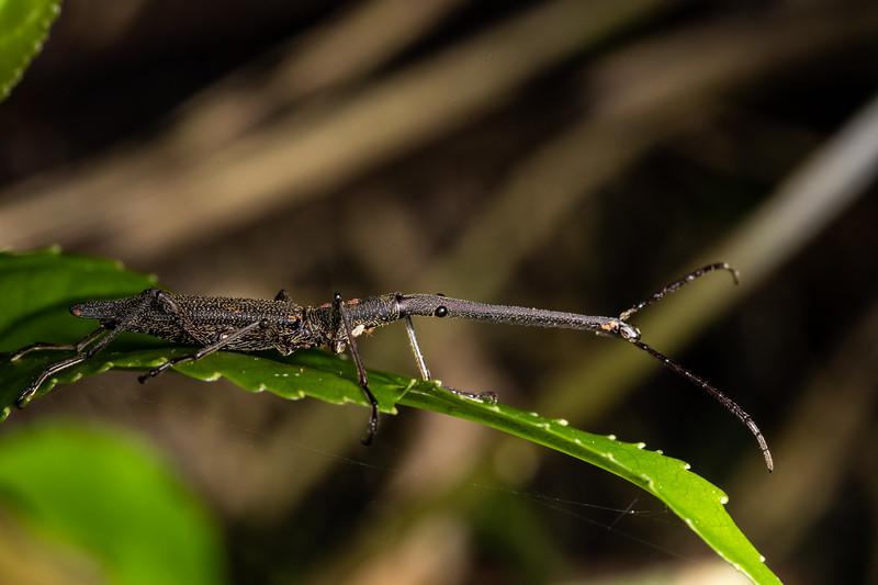 Giraffe weevil (Lasiorhynchus barbicornis) male. Marokopa Falls Track, Waikato.