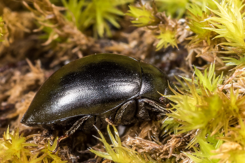 Moss beetle (Family Byrrhidae). Major Peak, Wakatipu.