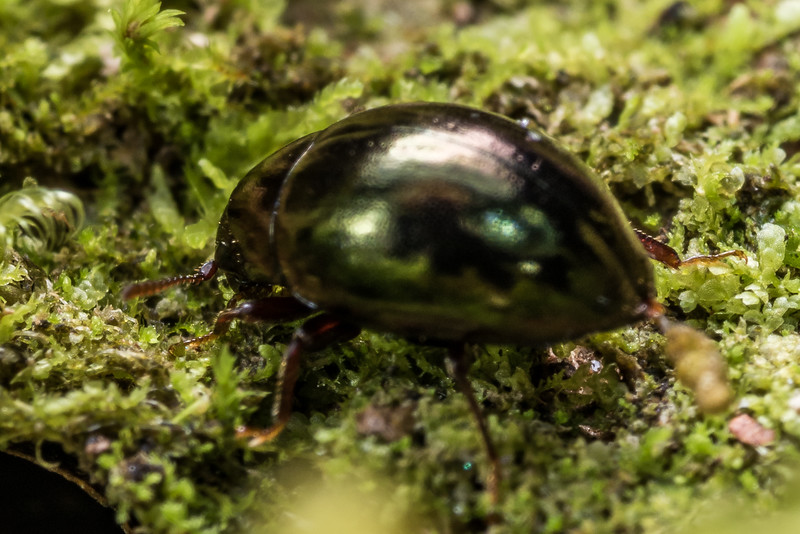 Moss beetle (Family Byrrhidae). Matukituki River East Branch, Mount Aspiring National Park.