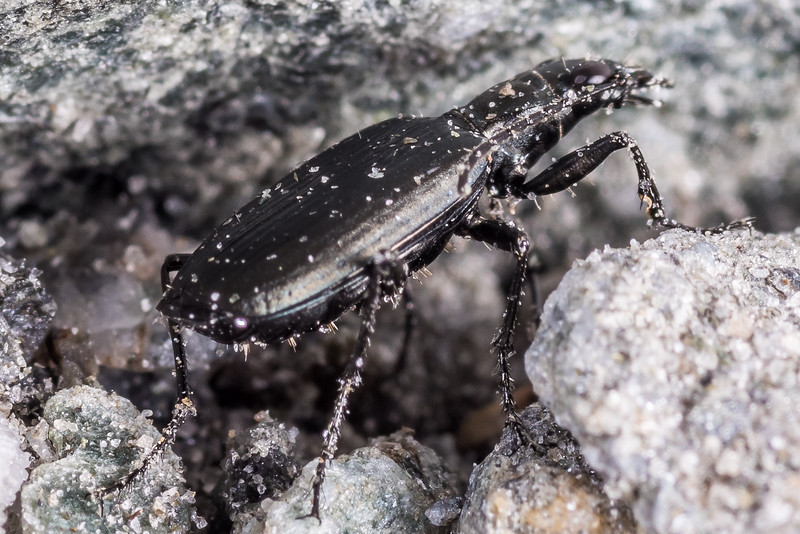 Ground beetle (Actenonyx bembidioides). Junction Flat, Matukituki River East Branch, Mount Aspiring National Park.