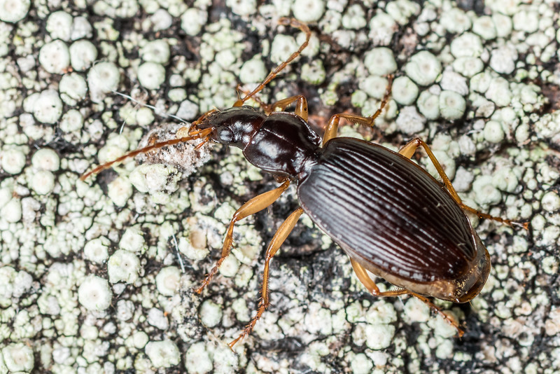 Ground beetle (Ctenognathus littorellus). Lake Monk, Fiordland National Park.