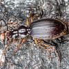Ground beetle (Ctenognathus littorellus). Lake Monk, Fiordland National Park.