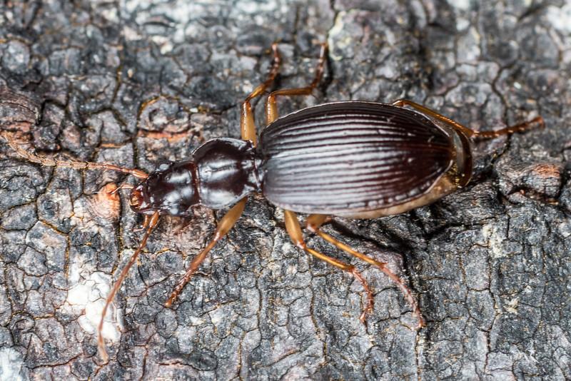 Ground beetle (Ctenognathus otagoensis). Lake Monk, Fiordland National Park.