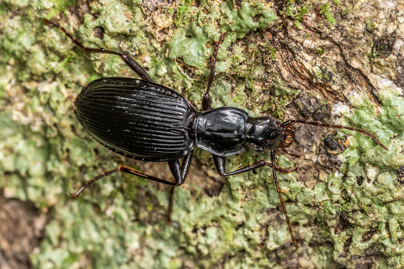 Ground beetle (Ctenognathus spp.). Kauri Loop Walk, Hakarimata Range.