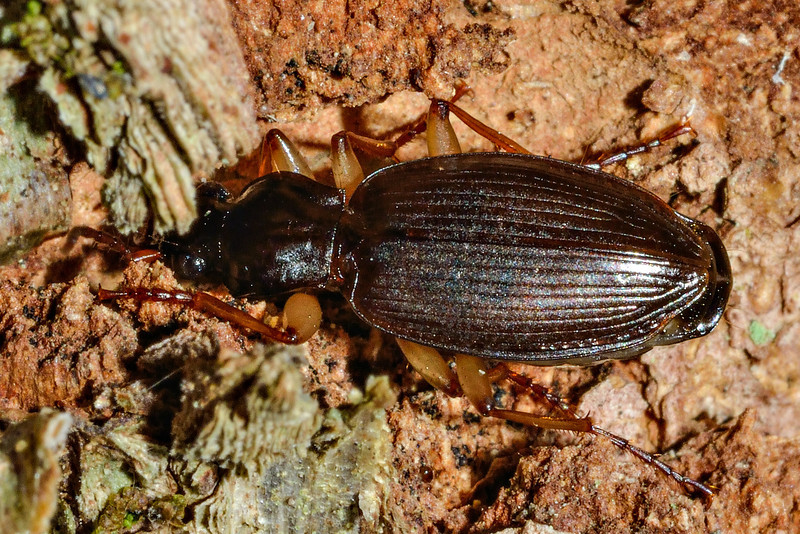Ground beetle (Ctenognathus spp.). Caples River, Mount Aspiring National Park.