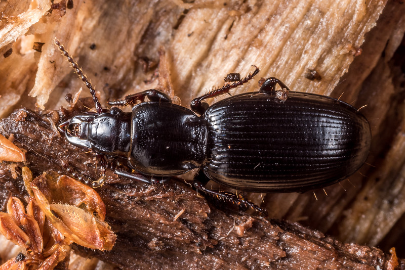Ground beetle (Diglymma spp.). Raspberry Flat, Matukituki River West Branch.