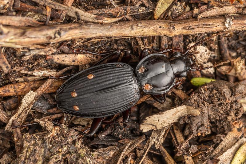 Ground beetle (Kupeplatynus lucifugus). Matamataharakeke Track, Coromandel.