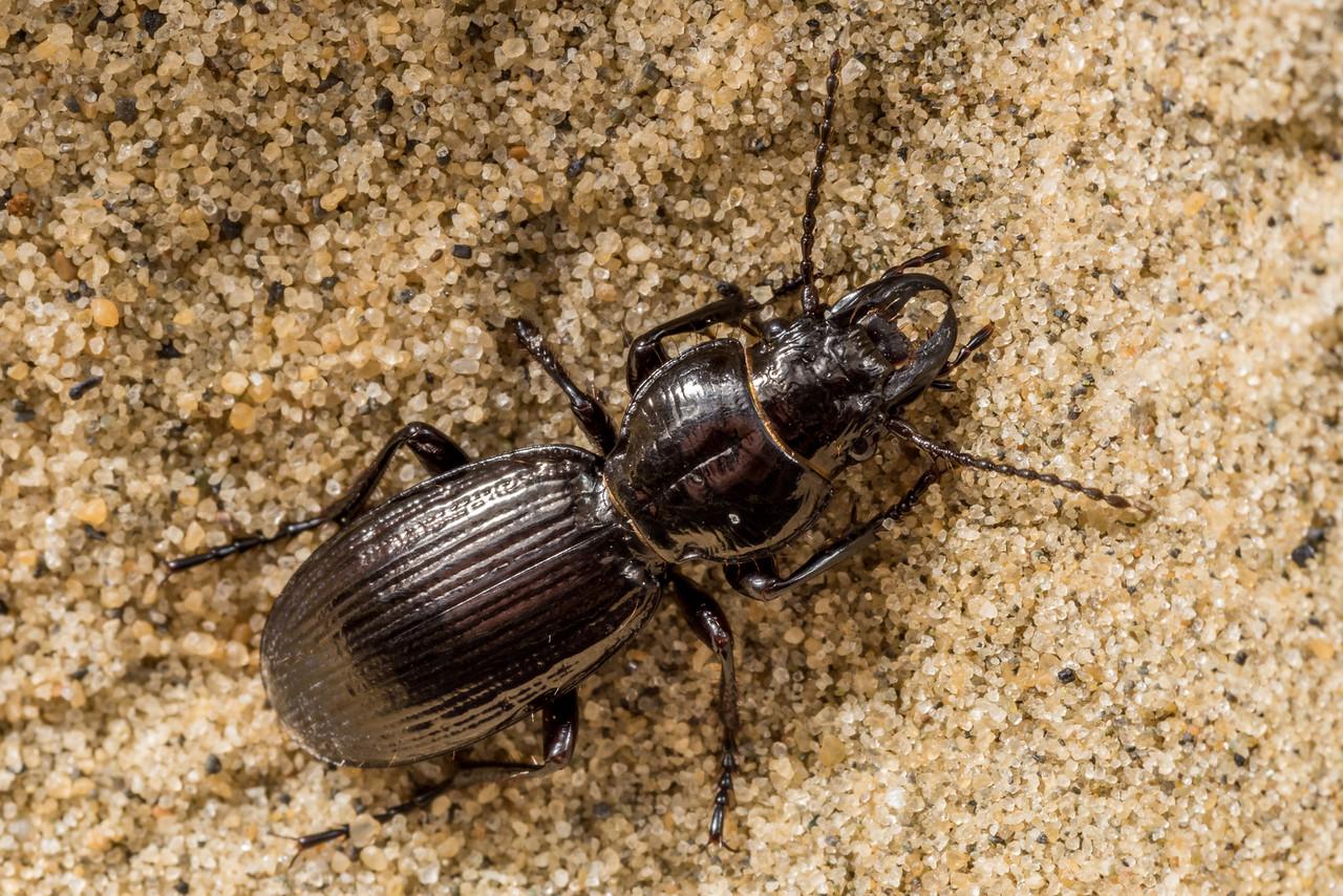 Ground beetle (Mecodema alternans). Sandfly Bay, Otago Peninsula.