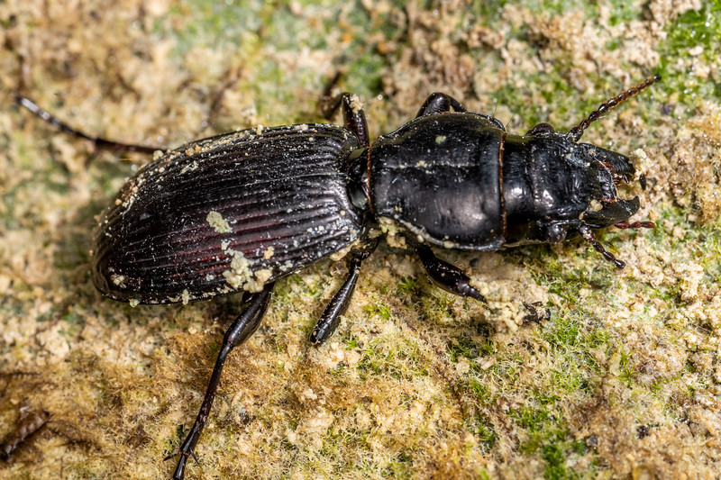 Ground beetle (Mecodema oconnori). Mangahopue Arch Track, Waitomo.
