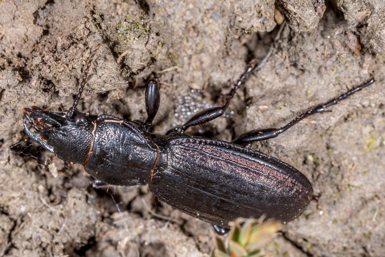 Ground beetle (Mecodema sculpturatum). Rock and Pillar Range, Otago.