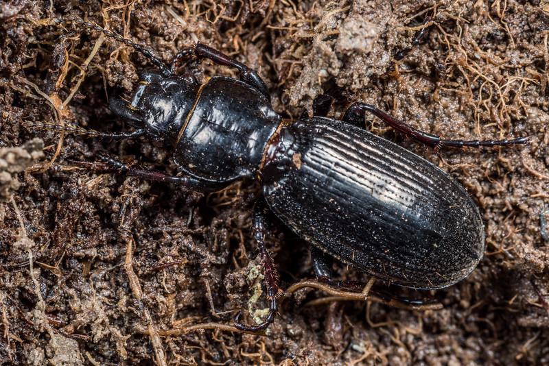 Ground beetle (Mecodema spp.). Young Range tops, Camerons Creek, Otago.