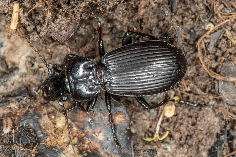 Ground beetle (Megadromus sandageri). Piano Flat, Waikaia Forest.