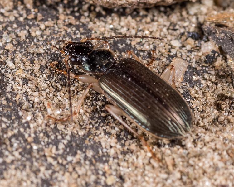 Submetallic ground beetle (Notagonum submetallicum). Butchers Dam, Alexandra, Central Otago.
