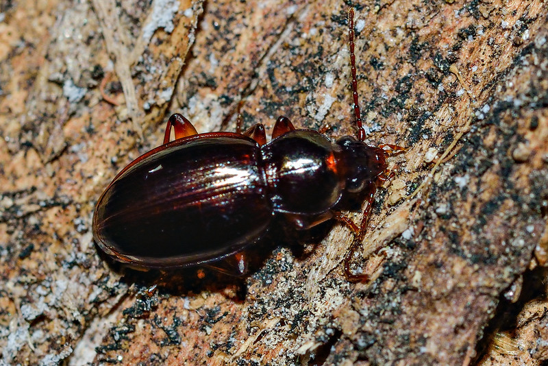 Ground beetle (Oopterus spp.). Opoho, Dunedin.