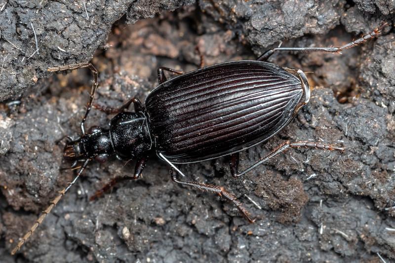 Ground beetle (Family Carabidae). Brook Waimarama Ecosanctuary, Nelson.