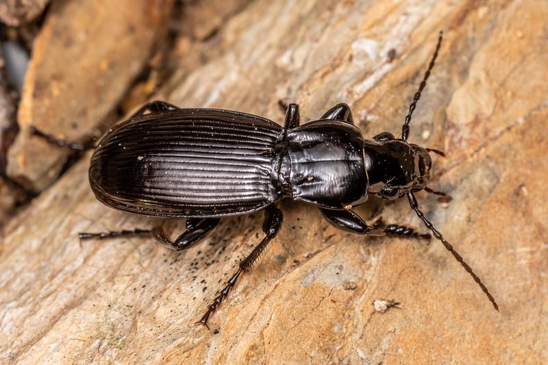 Woodland ground beetle (Tribe Pterostichini). Richmond Saddle. Richmond Range, Marlborough.