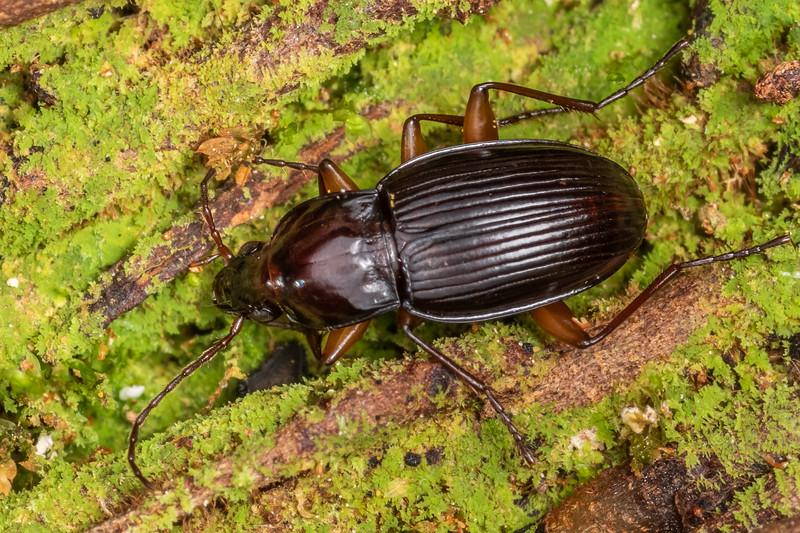 Ground beetle (Zolus spp.). Cullen Point Track, Havelock.