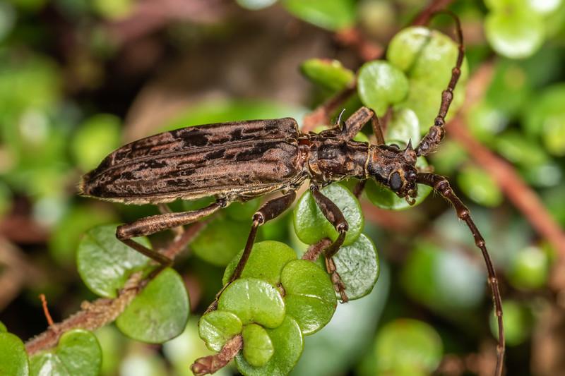 Spiny longhorn (Blosyropus spinosus). Awatiro Farm, Waitomo.