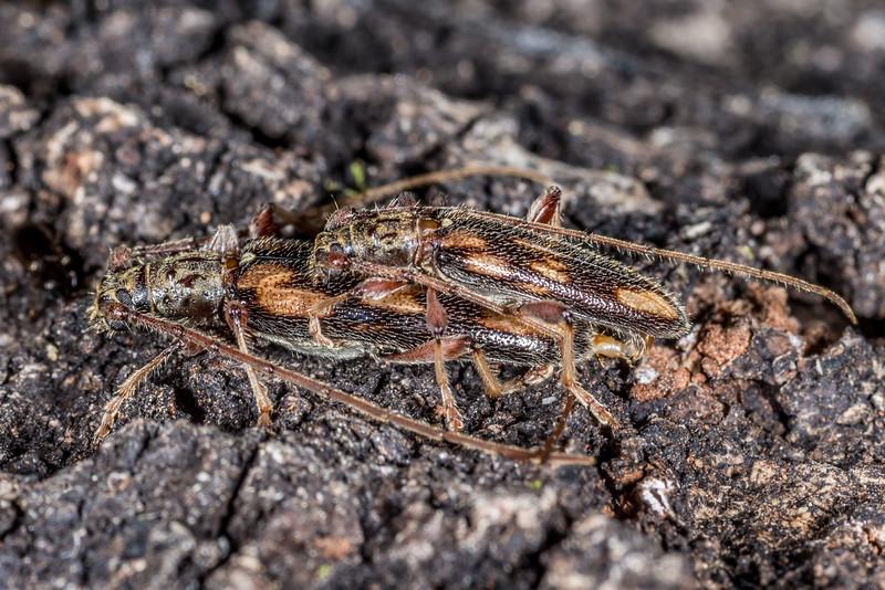 Longhorn beetle (Didymocantha flavopicta). Awapoto Hut, Abel Tasman National Park.