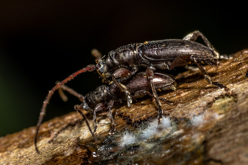 Longhorn beetle (Xylotoles spp.). Peach Cove, Whangarei Heads, Northland.