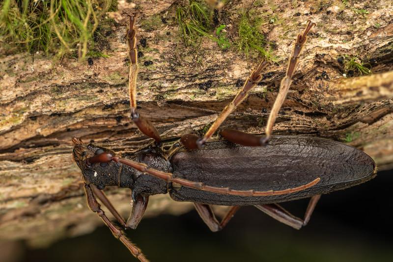 Longhorn beetle (Nesoptychias simpliceps). Pinnacles Hut, Coromandel.