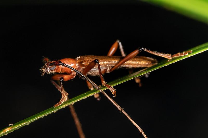 Longhorn beetle (Ophryops dispar).  Te Whare Okioki, Kaimai Range, Waikato.