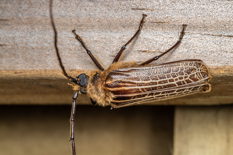 Huhu (Prionoplus reticularis). Brook Waimarama Ecosanctuary, Nelson.