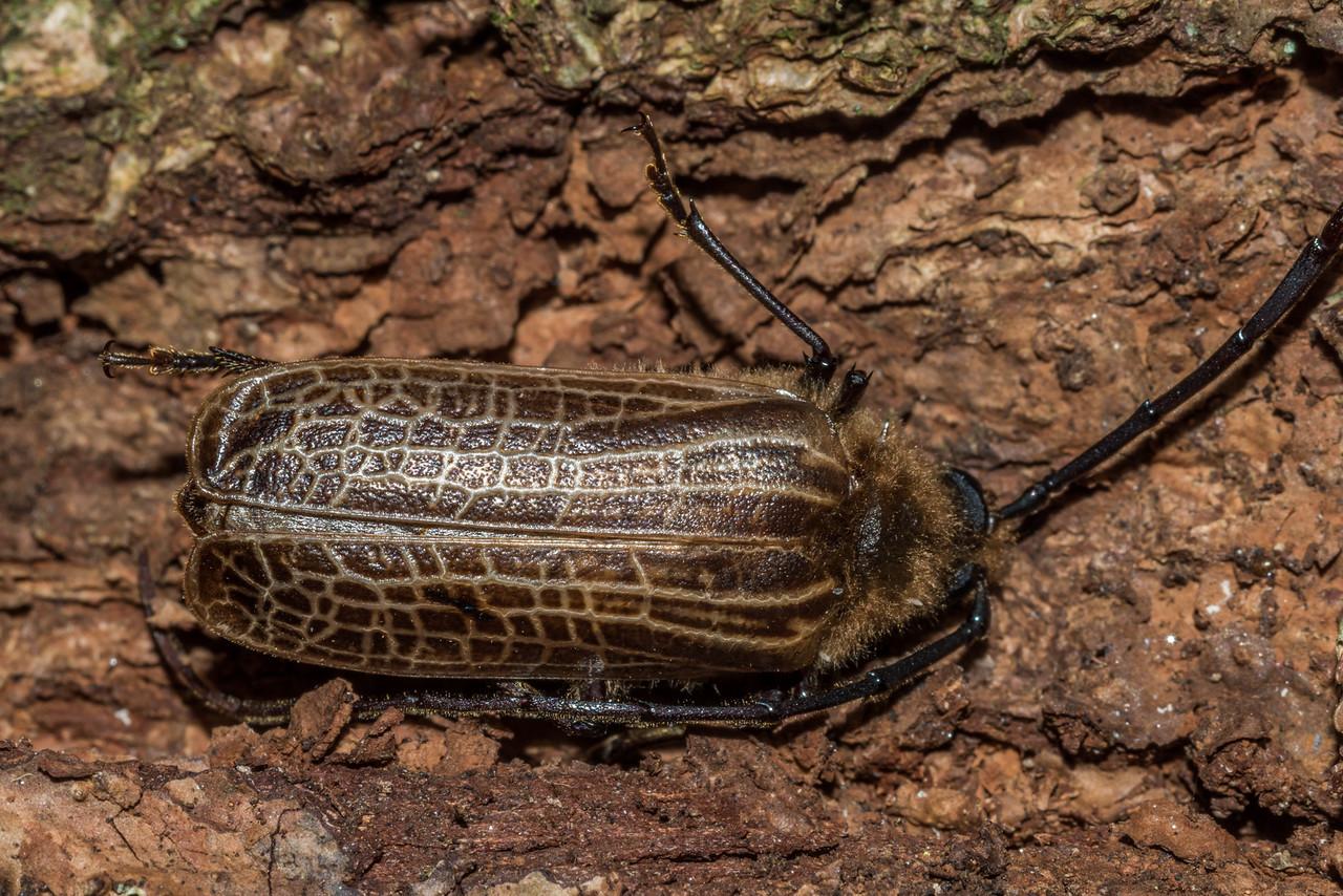 Huhu (Prionoplus reticularis). Matukituki River East Branch, Mount Aspiring National Park.