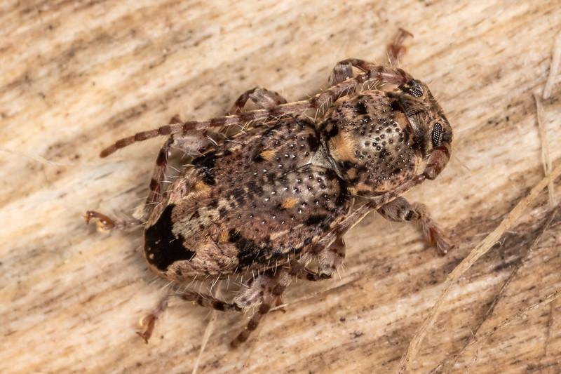Flat-faced longhorn beetle (Somatidia spp.). Kauri Loop Walk, Hakarimata Range.