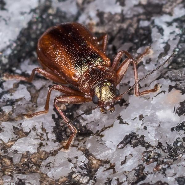 A case-bearing leaf beetle of the genus Arnomus. Three Pointer, Heaphy Track, Kahurangi National Park.