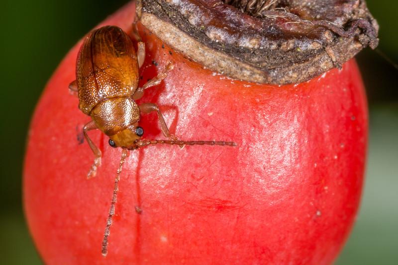 Leaf beetle (Eucolaspis spp.). Opoho, Dunedin.
