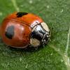 Two-spotted ladybird (Adalia bipunctata). Opoho, Dunedin.