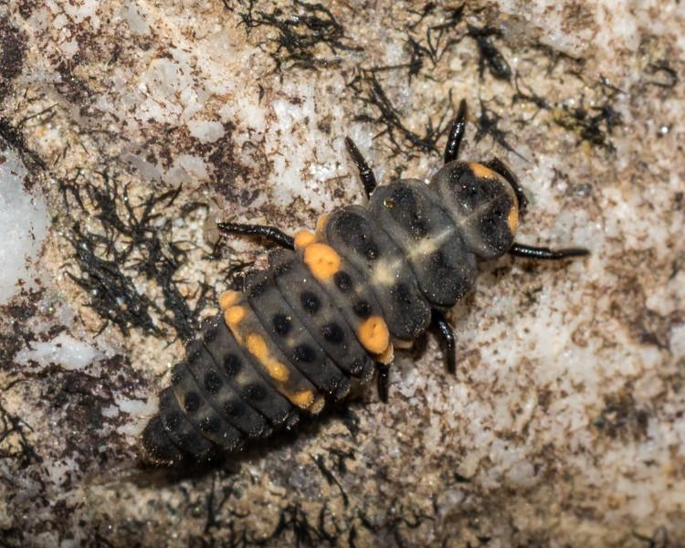 Orange-spotted ladybird beetle (Coccinella leonina). Big River, Fiordland National Park.