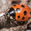 Elevenspotted ladybird (Coccinella undecimpunctata). Lake Hauroko, Fiordland National Park.