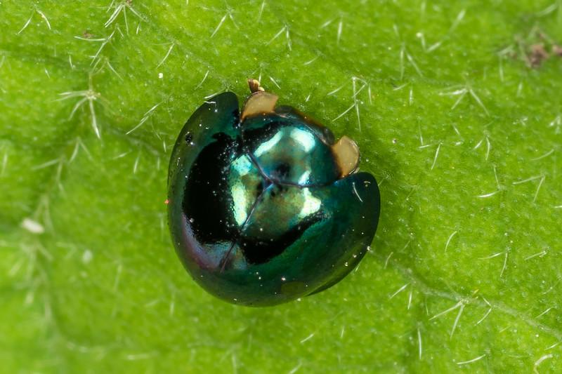 Steelblue ladybird (Halmus chalybeus). Victoria Esplanade, Palmerston North.