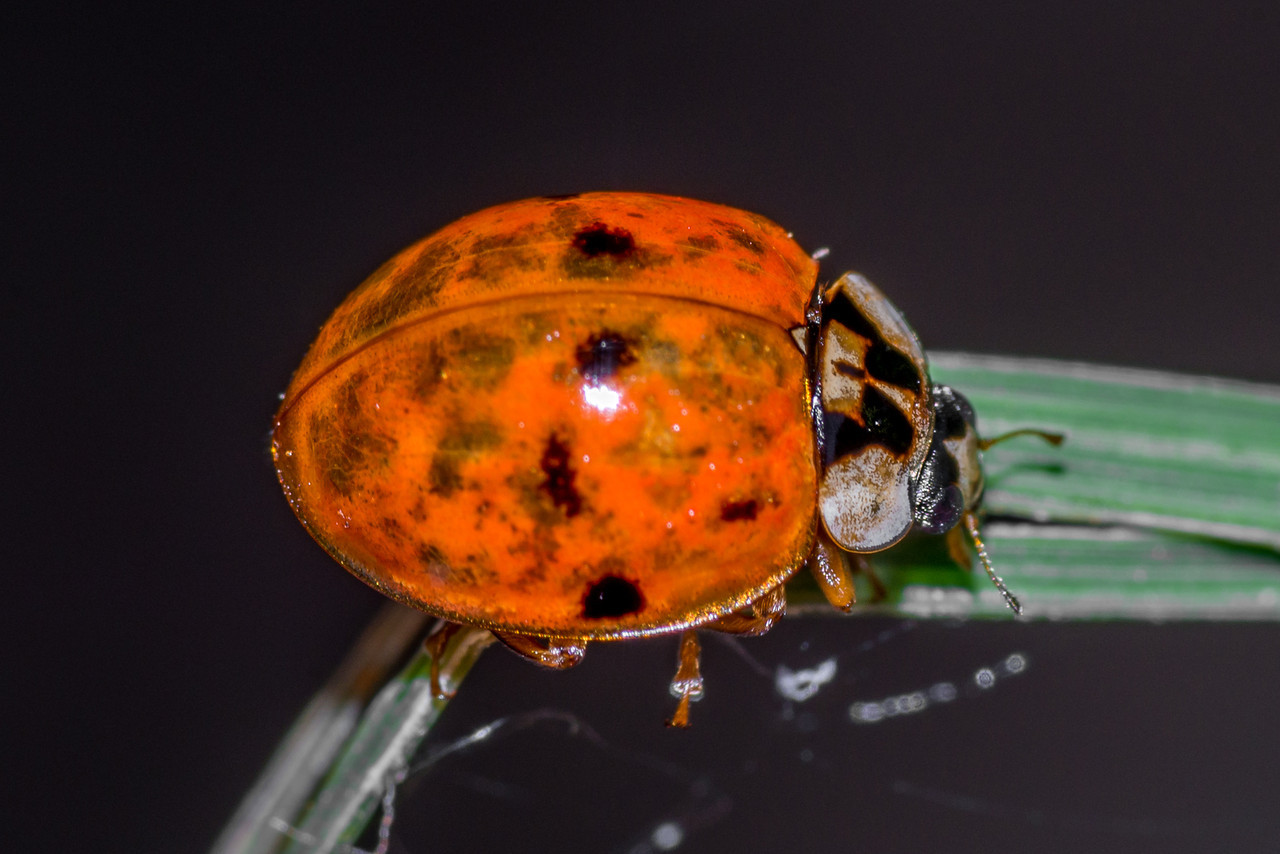 Asian lady beetle (Harmonia axyridis). Interstate Park, St Croix Falls, WI, USA.