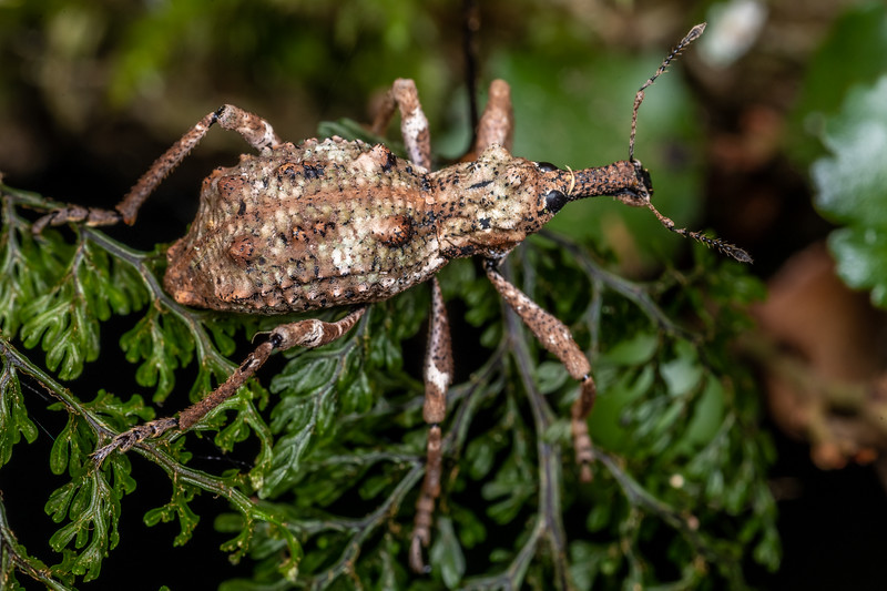 Helms's beech weevil (Anagotus helmsi).<br /> Branch Creek Hut, Fyfe River, Kahurangi National Park.