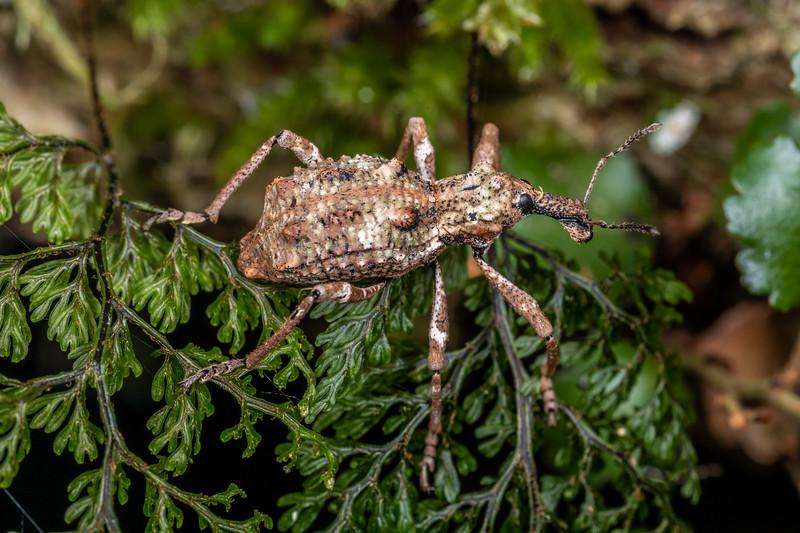 Helms's beech weevil (Anagotus helmsi).<br /> Branch Creek Hut, Fyfe River, Kahurangi National Park.