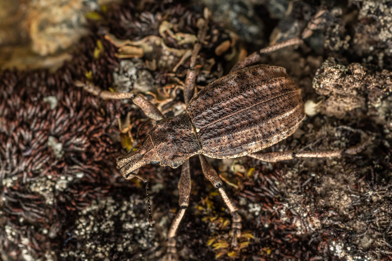 Weevil (Anagotus sp.). Mount Somers, Canterbury.