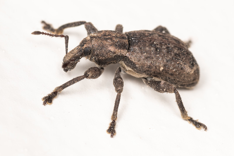 Weevil (Brachyolus spp.). Richmond Saddle Hut. Richmond Range, Marlborough.