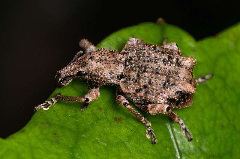 Weevil (Catoptes binodis). Danseys Reserve, Rotorua.