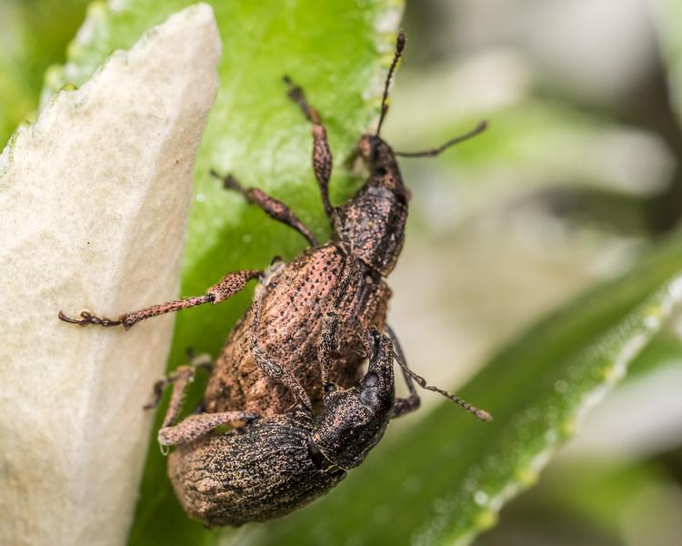 Weevils (Catoptes brevicornis). mating. Rangaika Scenic Reserve, Chatham Island.