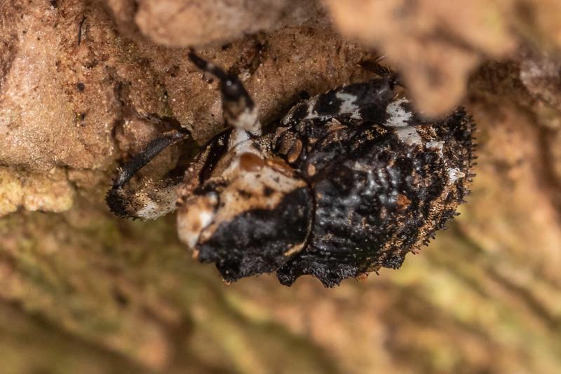 Weevil (Crisius variegatus). Marokopa Falls Track, Waikato.